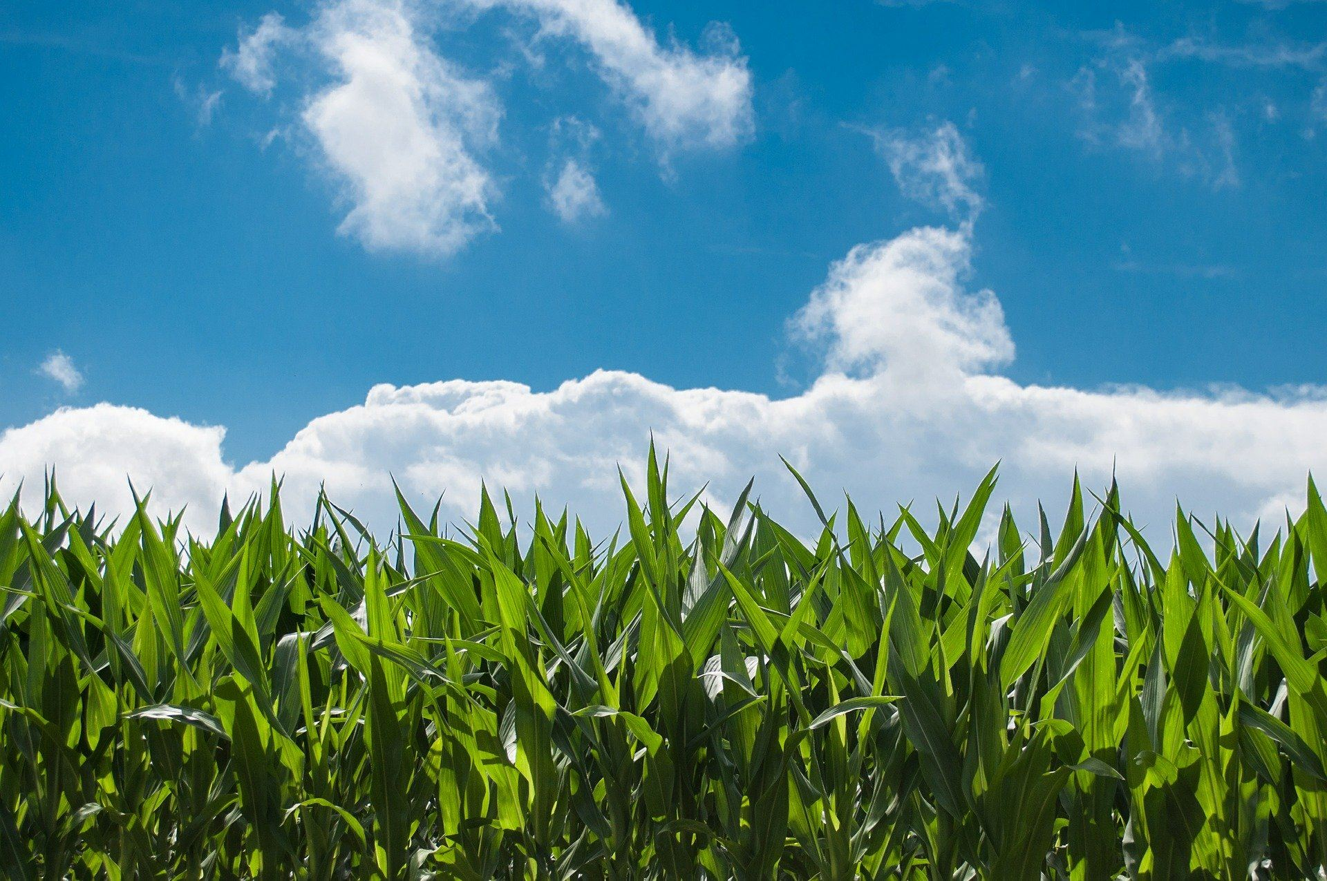 Cornfield in front of blue sky